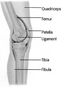 Knee anatomy from the side